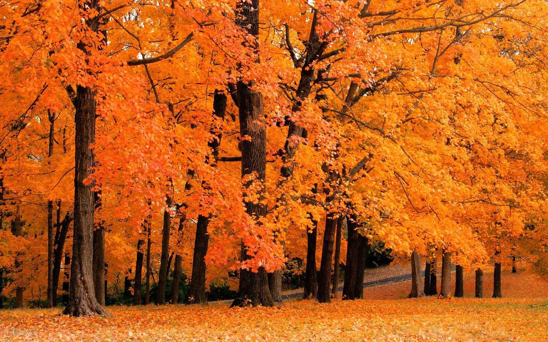 autumn fall wallpaper orange trees