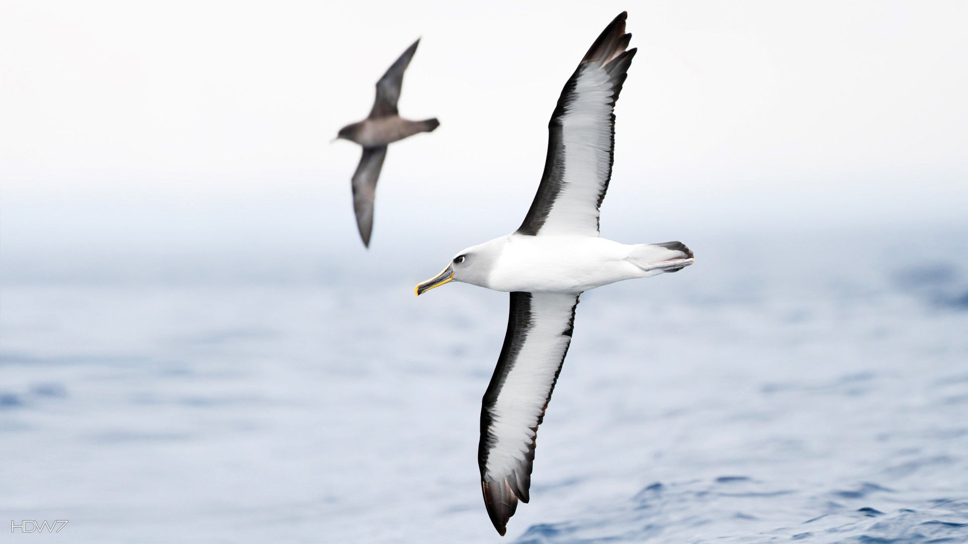 albatross bullers mollymawk flight birds flying