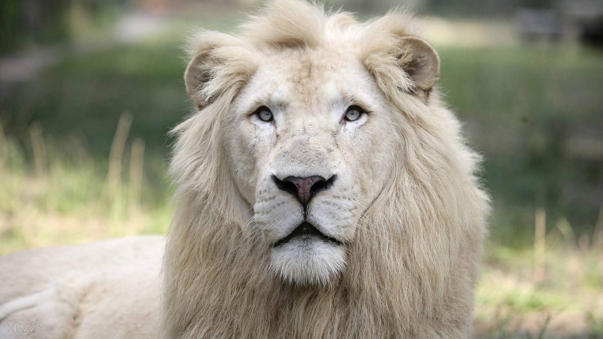 A White Lion At Jungle Island Hd Wallpaper Gallery 213