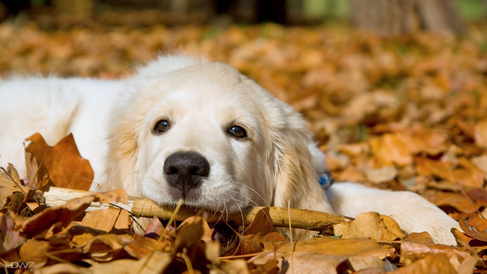 Golden Retriever Puppy In Leaves 1080p Hd Wallpaper Gallery 249