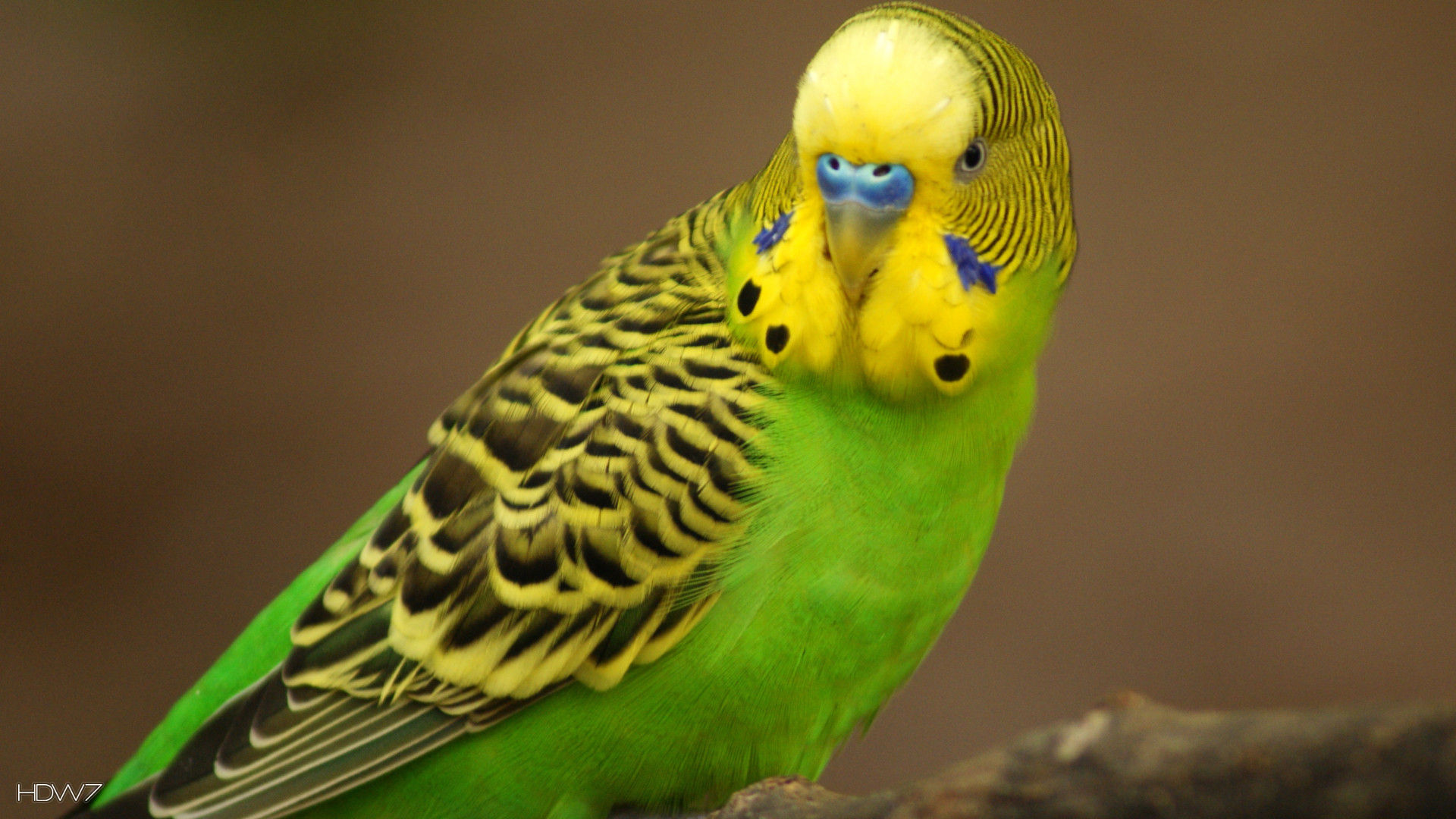 Budgie Small Parrot Bird Hd Wallpaper Gallery 372