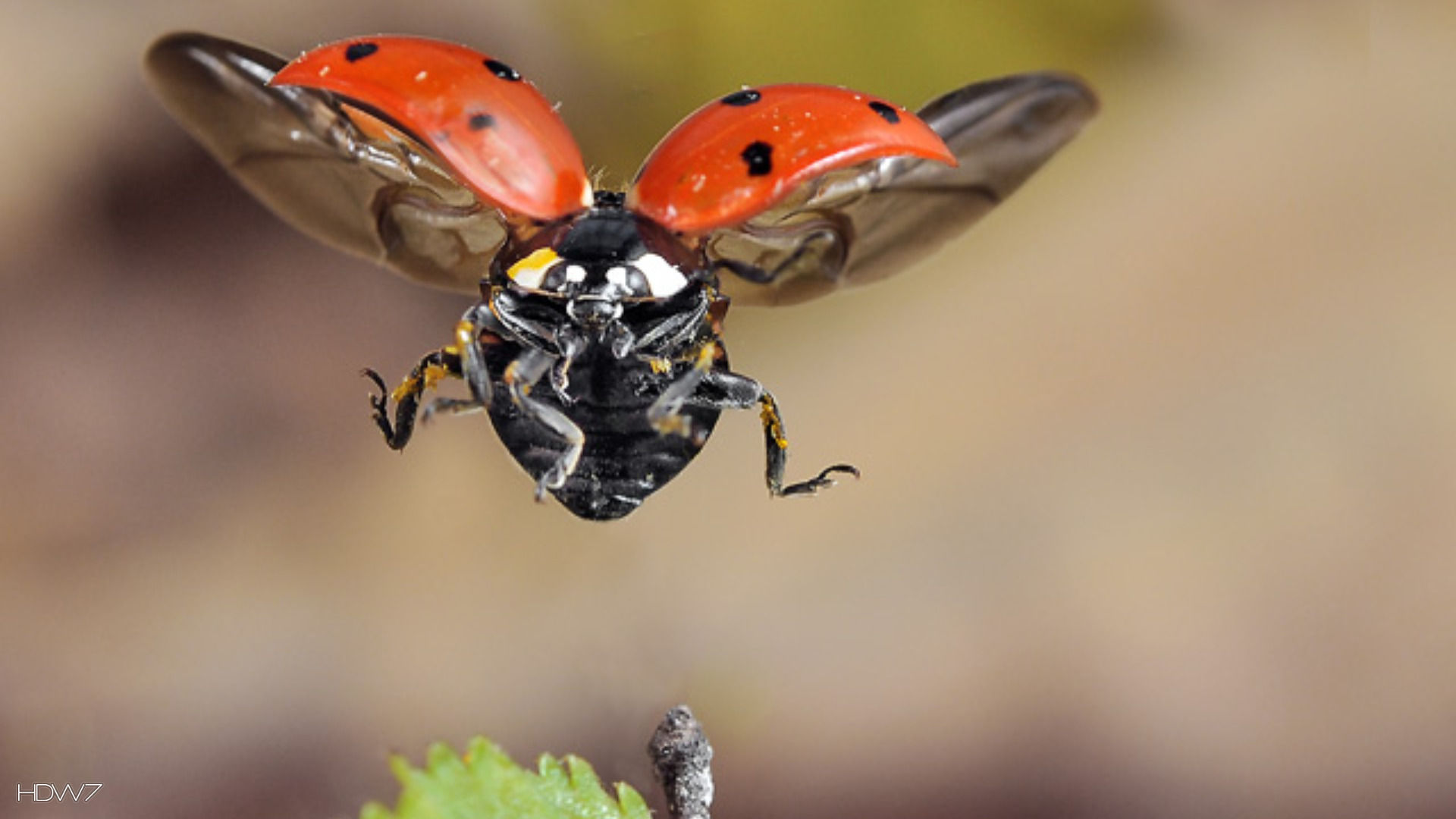 ladybird flying wallpaper