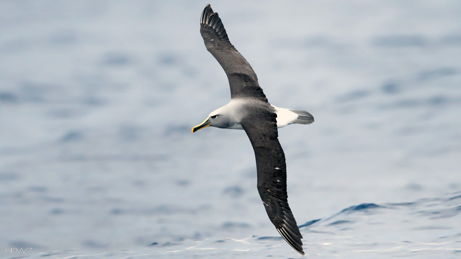 albatross buller bird flying dark wings