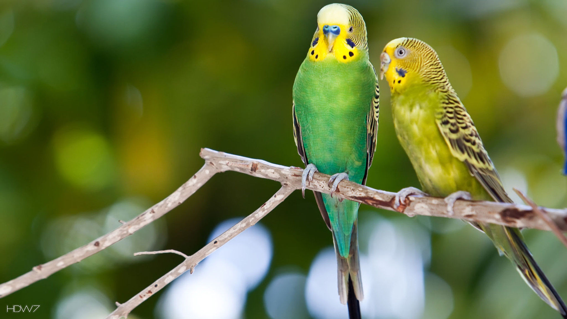 budgie two green budgerigars birds sitting