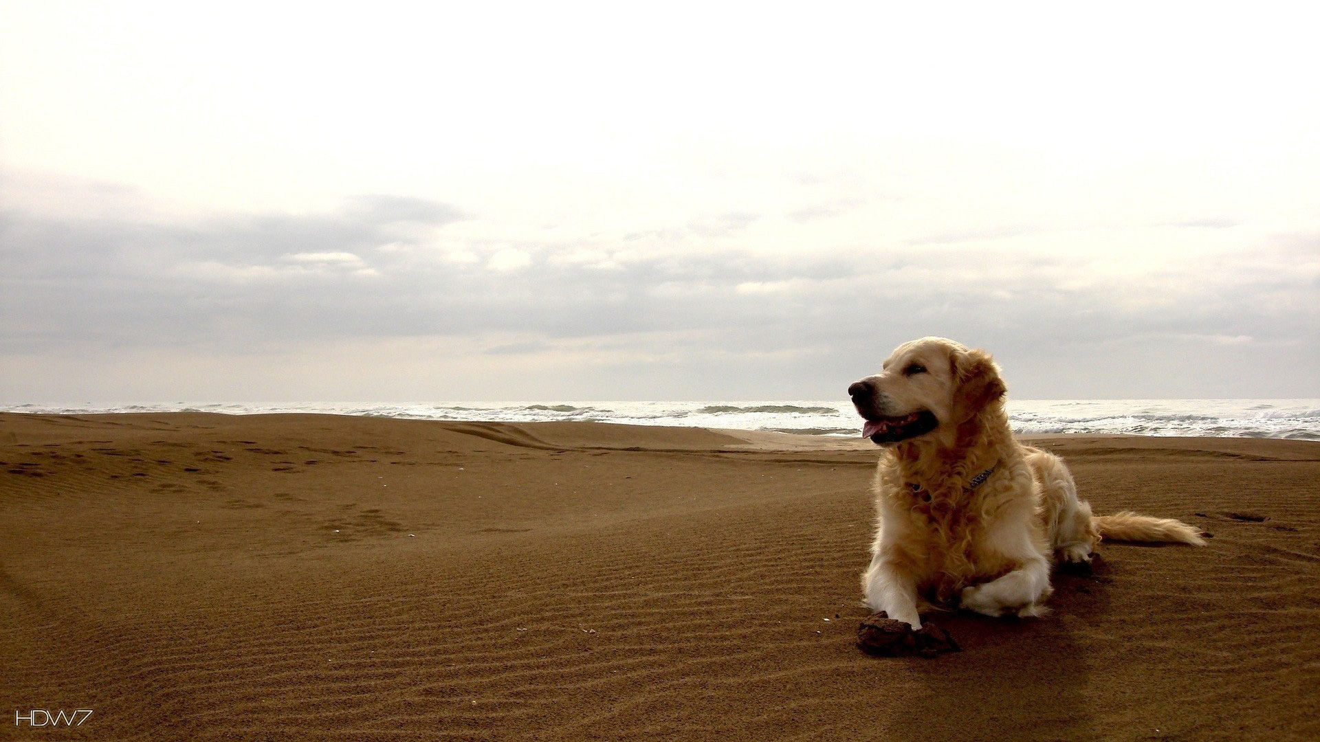 Golden Retriever Beach Wallpaper Hd Wallpaper Gallery 412