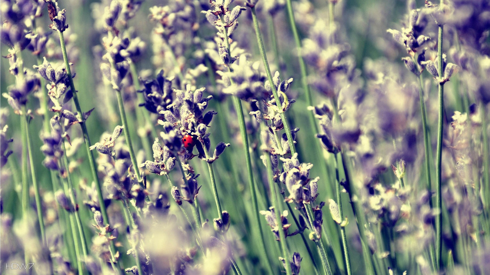 lavender and a ladybug 1080p