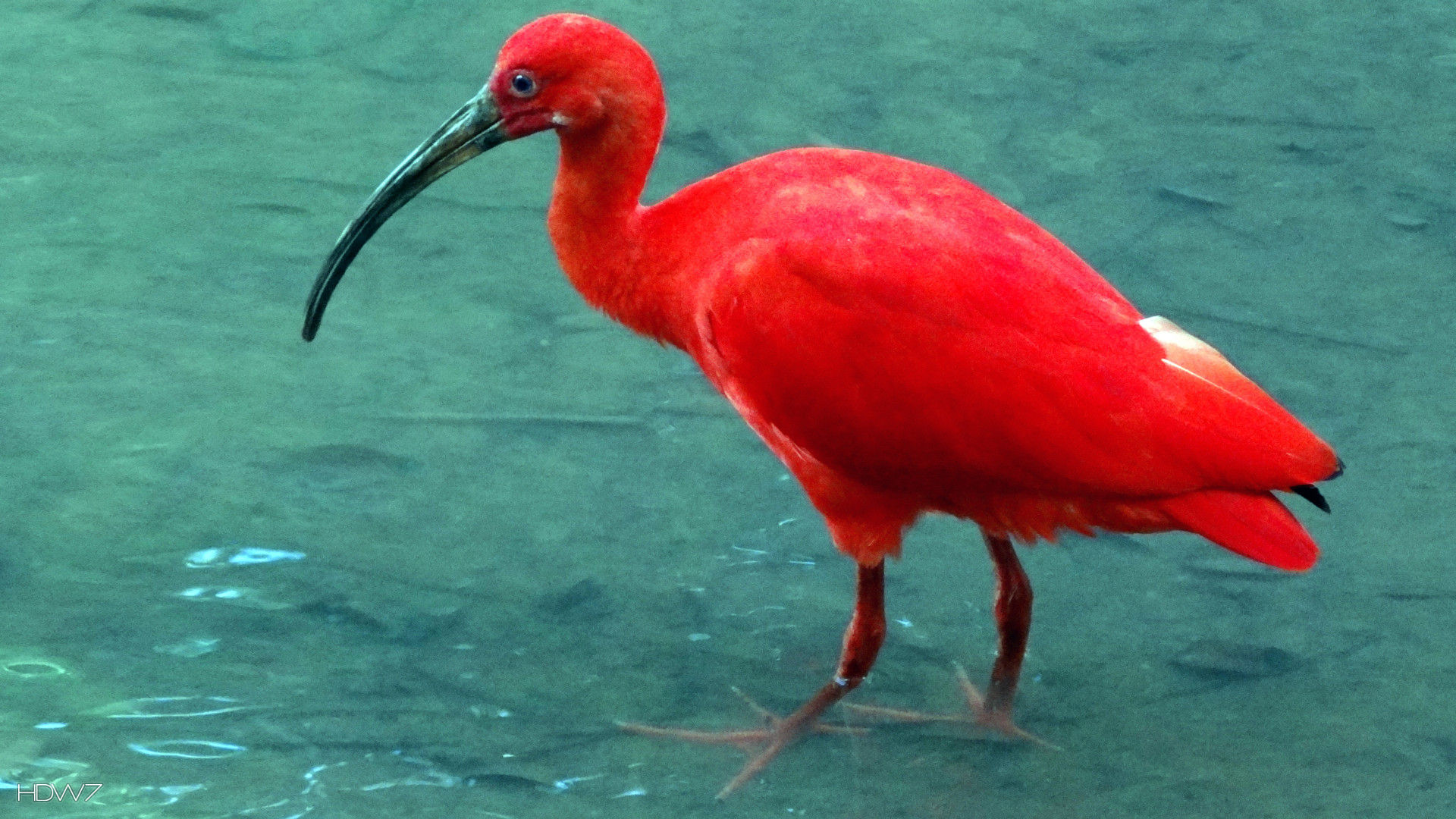 ibis red bird water