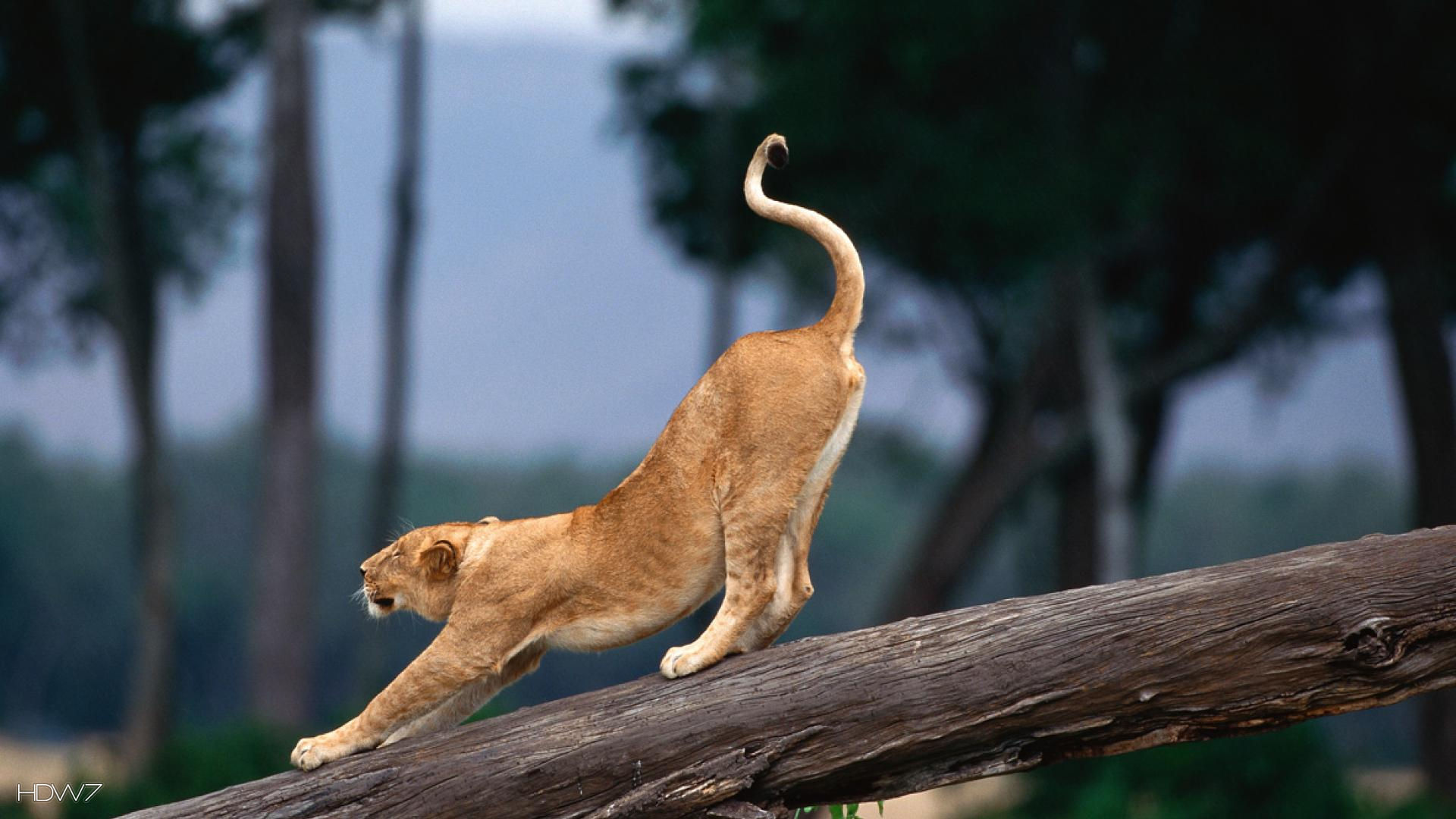 lion cub stretching 1080p | HD wallpaper gallery #421