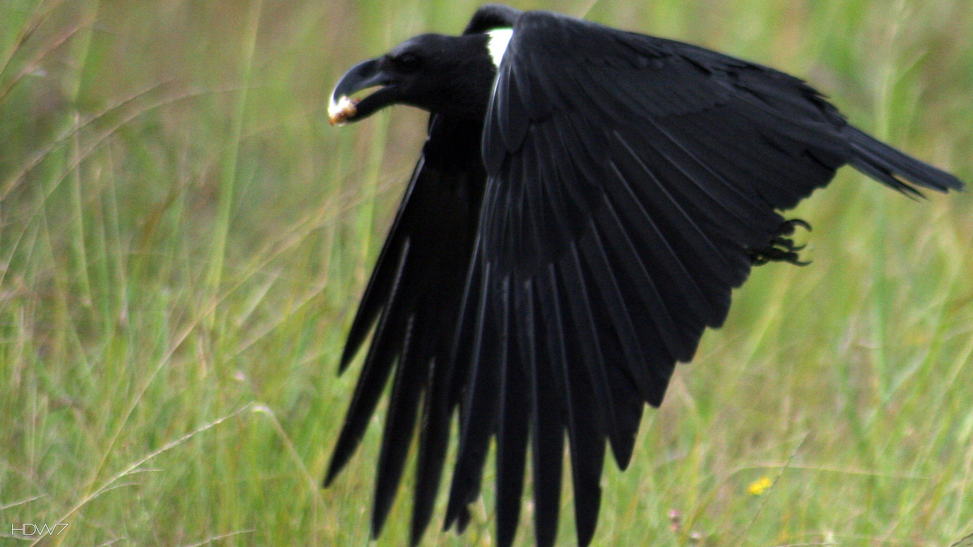 raven white necked flight bird
