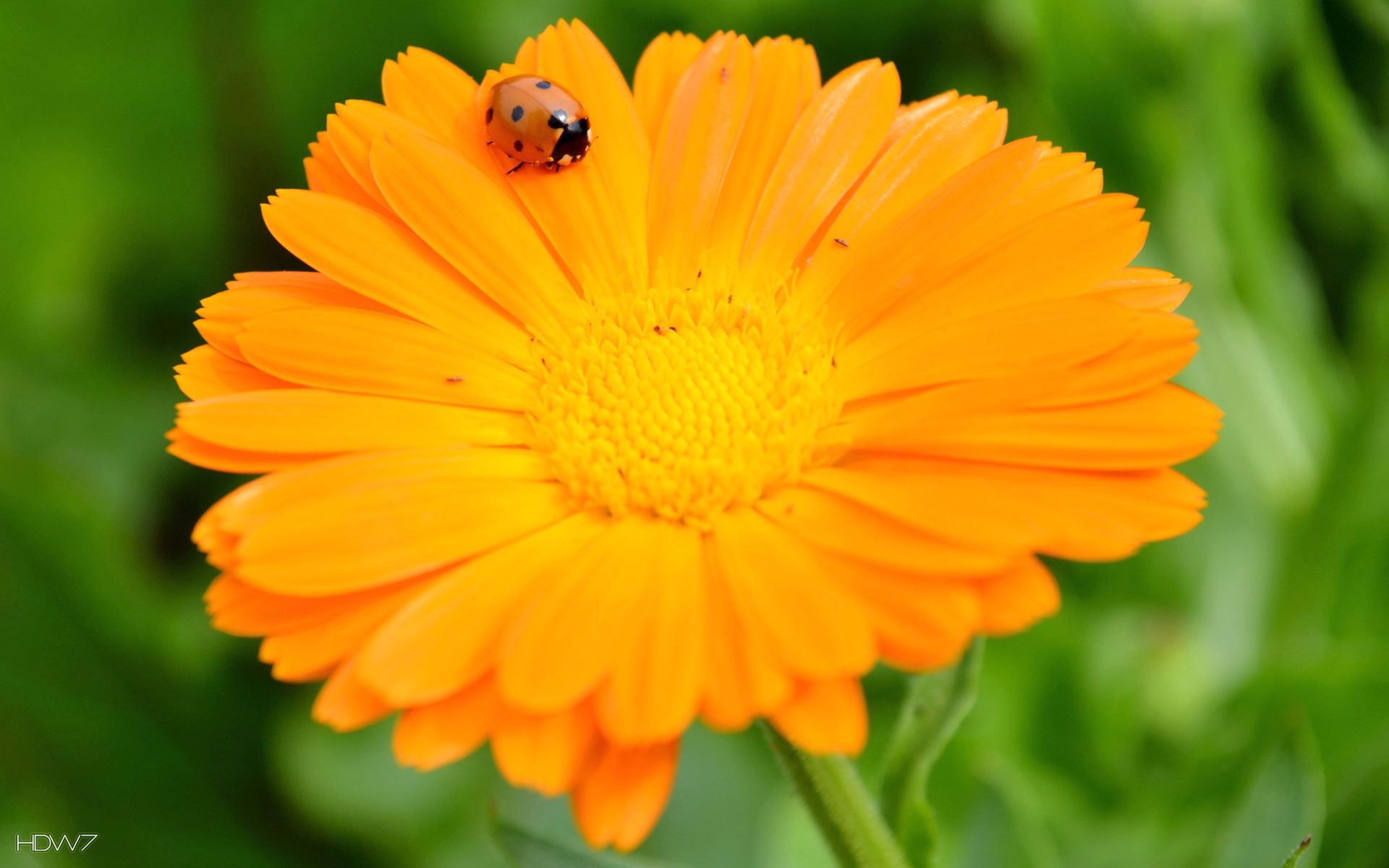 ladybug on orange flower wallpaper