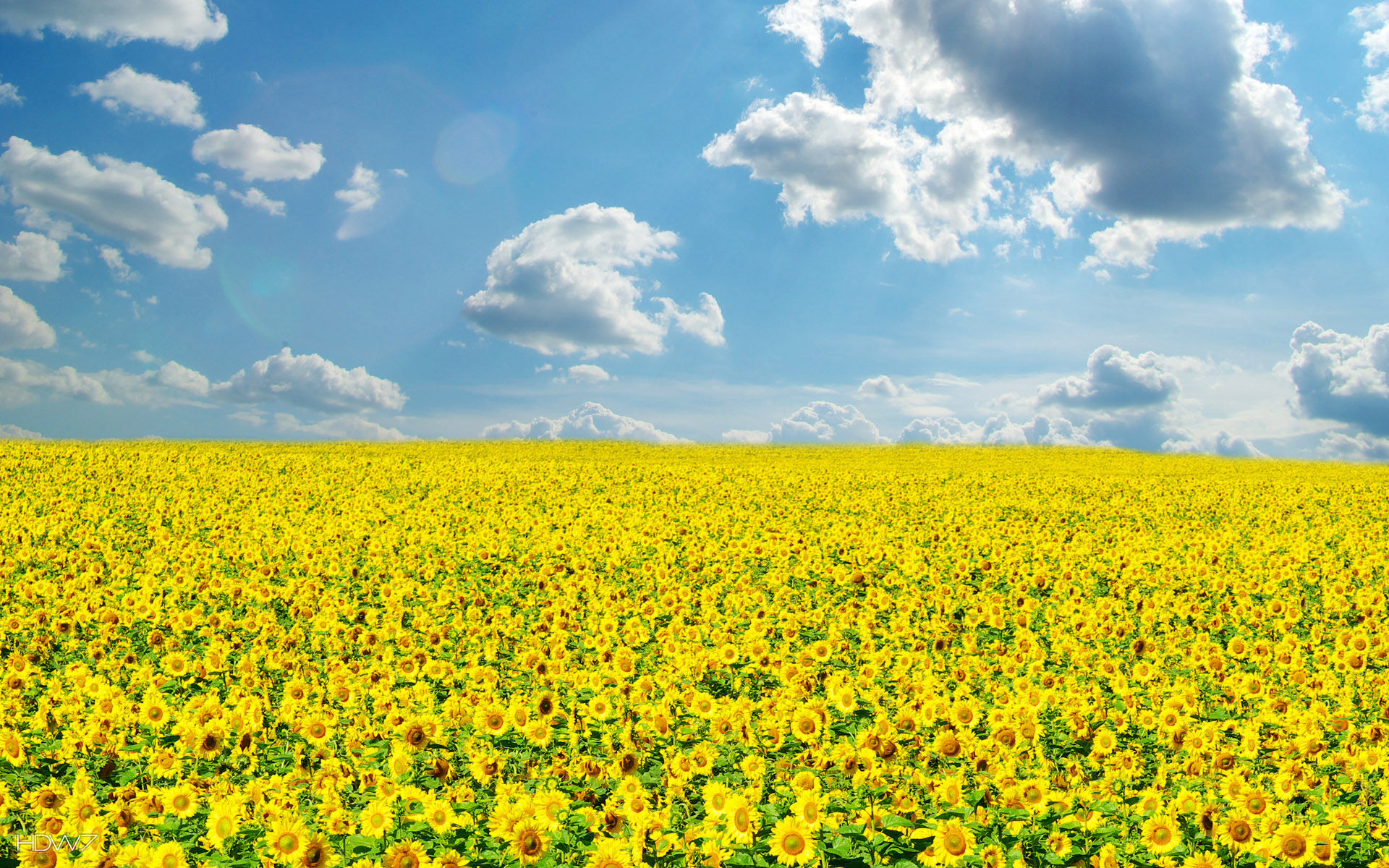 Bright sunny day yellow field sunflowers sky clouds nature hd wallpaper gallery 67 - Sunny name wallpaper ...