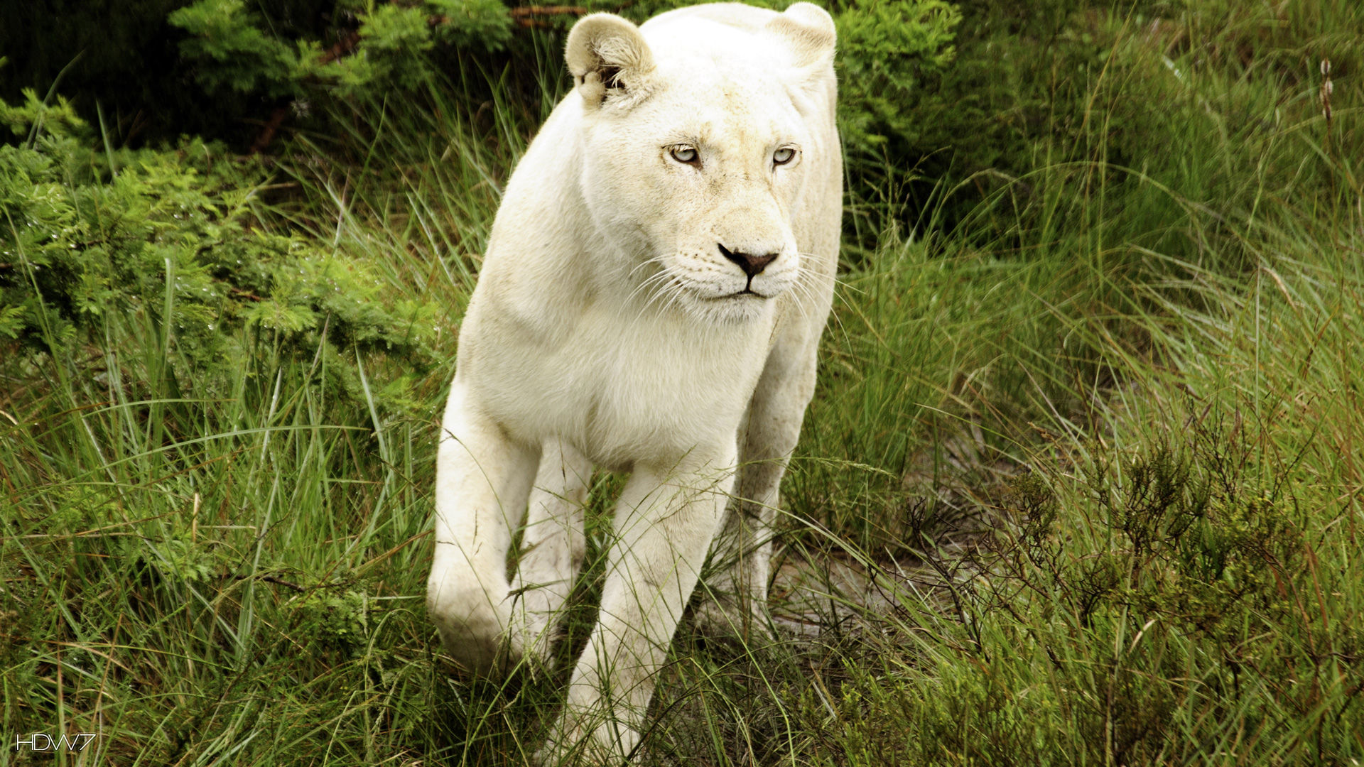 white lioness at inkwenkwezi game reserve | HD wallpaper ...